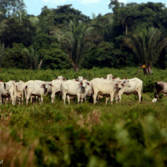 New Reporting Opportunity – Cattle and Central American Forests